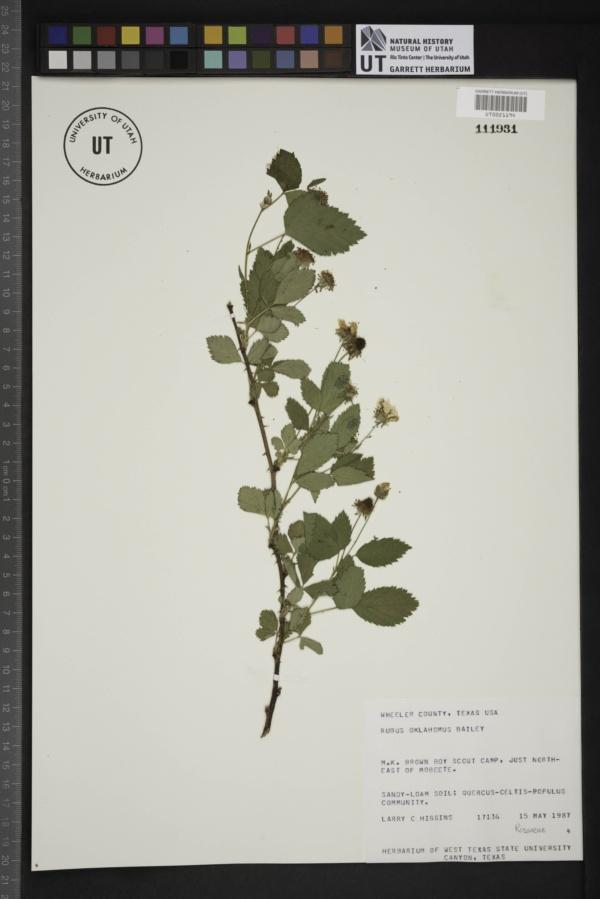 Rubus oklahomus image