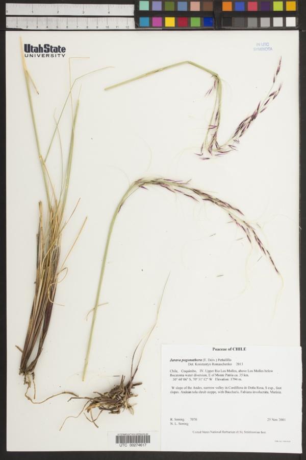 Stipa pogonathera image