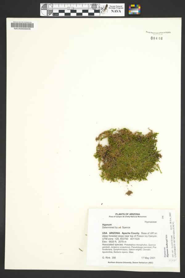 Calliergonella lindbergii image