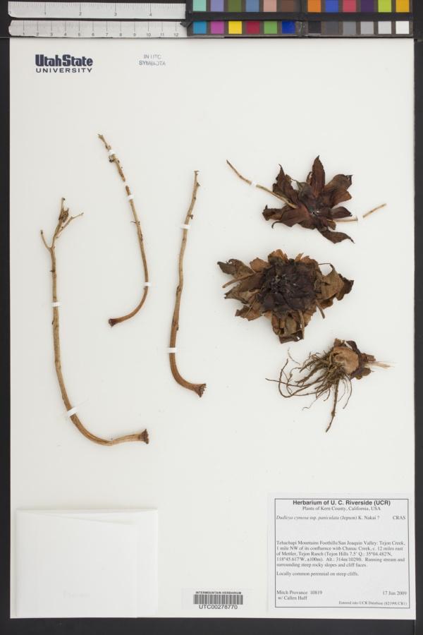 Dudleya cymosa subsp. paniculata image