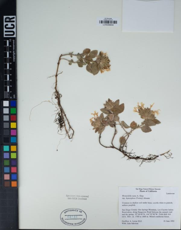 Monardella nana subsp. leptosiphon image