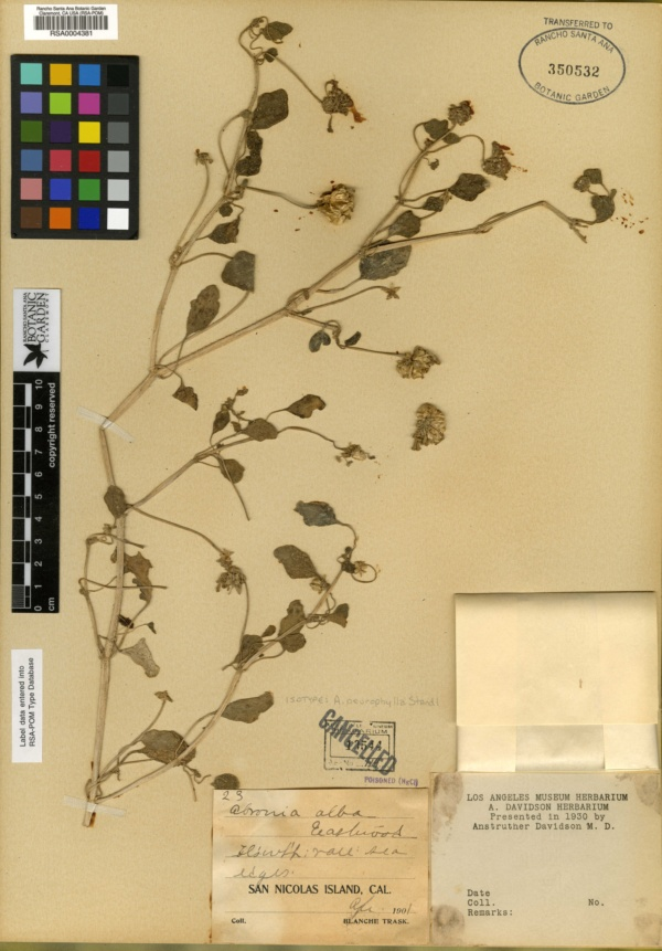 Abronia neurophylla image