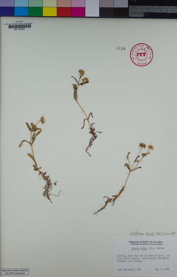 Lasthenia minor image