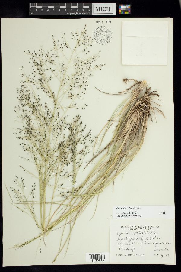 Sporobolus palmeri image