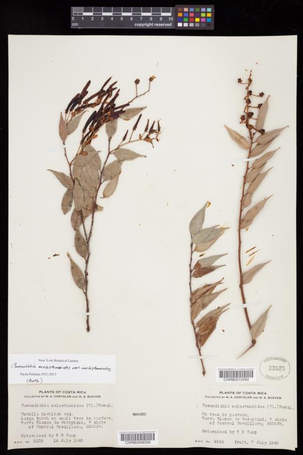 Cavendishia image