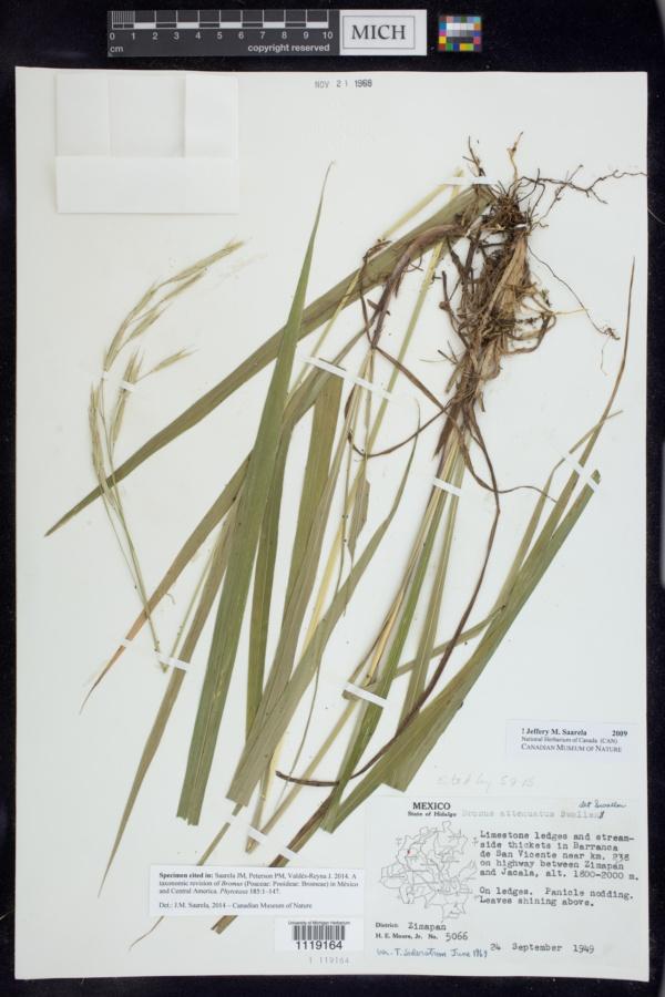 Bromus attenuatus image