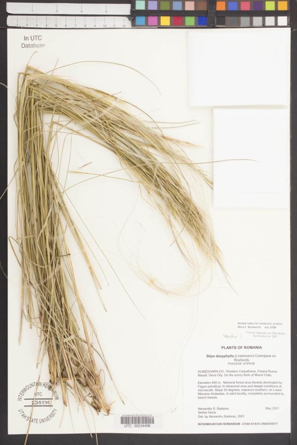 Stipa dasyphylla image