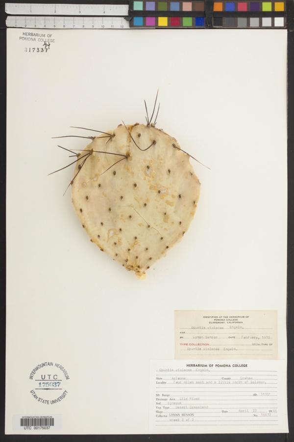 Opuntia macrocentra var. macrocentra image
