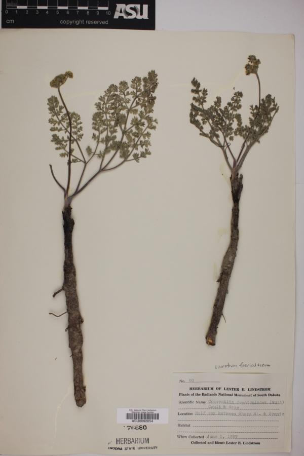 Cogswellia foeniculacea image