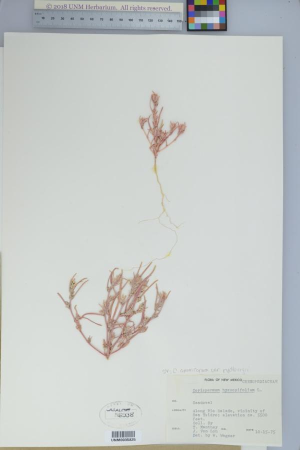 Corispermum americanum var. rydbergii image