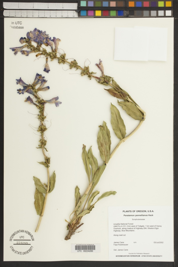 Penstemon pennellianus image