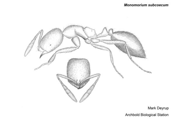 Monomorium subcoecum image