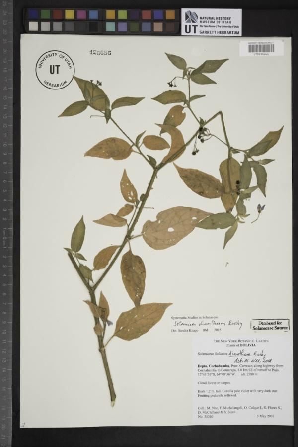 Solanum dianthum image