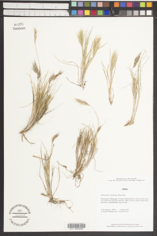 Dielsiochloa floribunda image