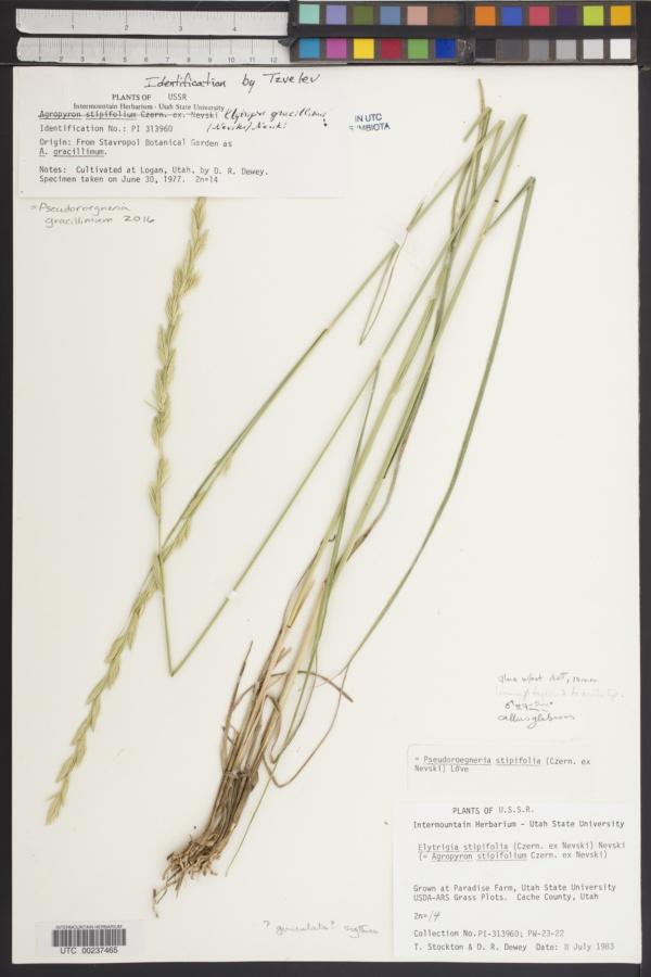 Pseudoroegneria gracillima image