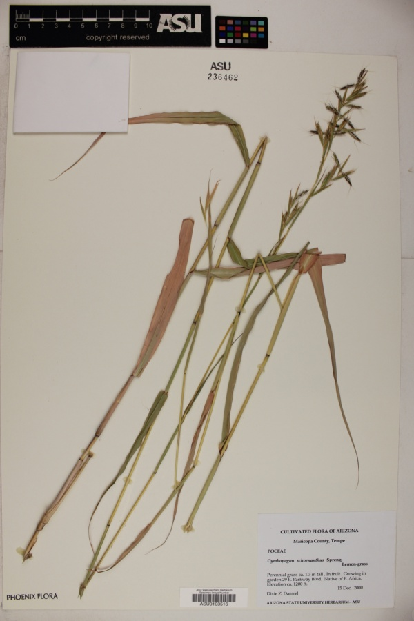 Cymbopogon schoenanthus image