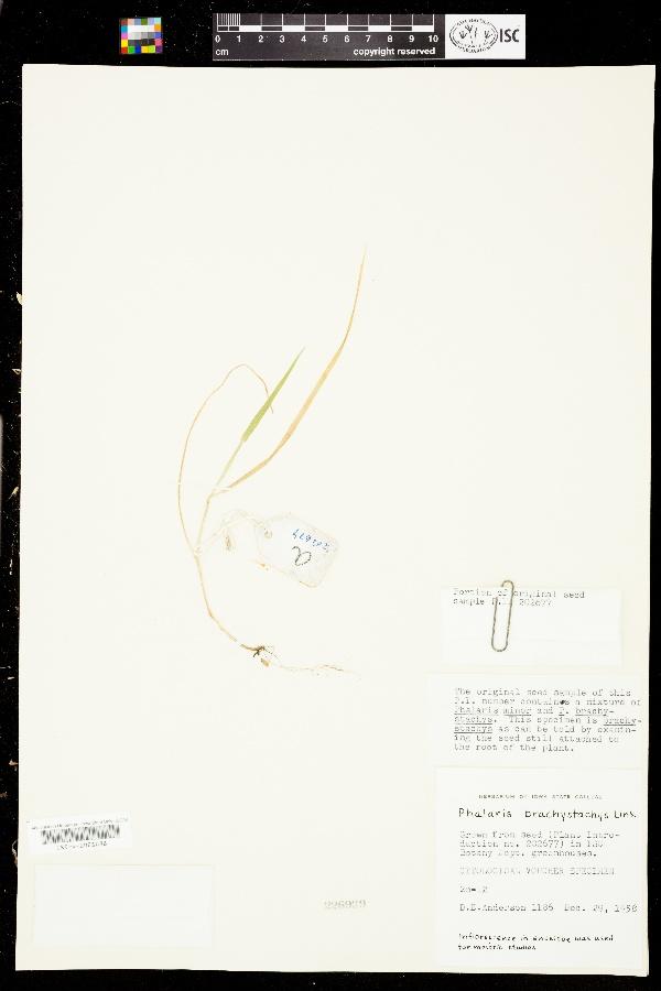 Phalaris brachystachys image