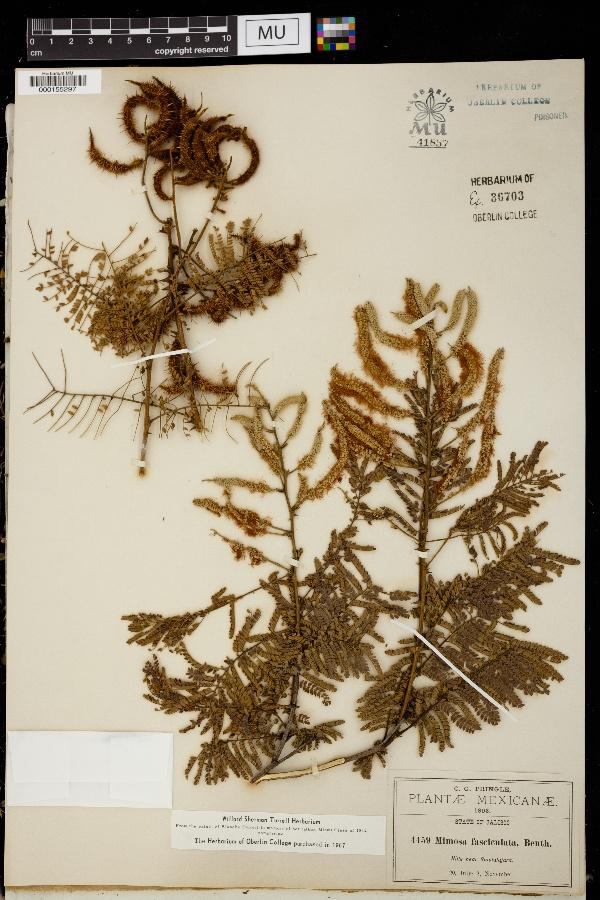 Mimosa fasciculata image