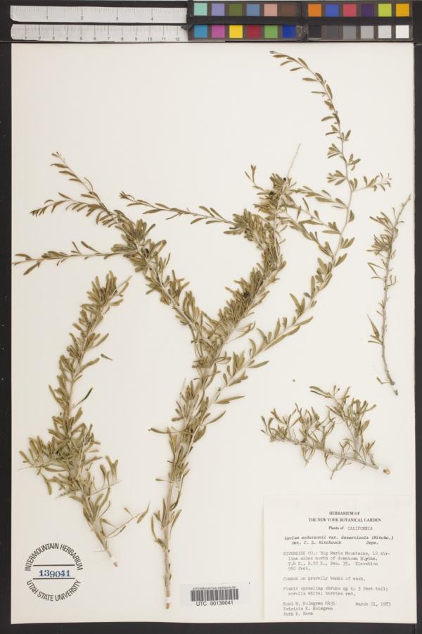 Lycium andersonii var. deserticola image