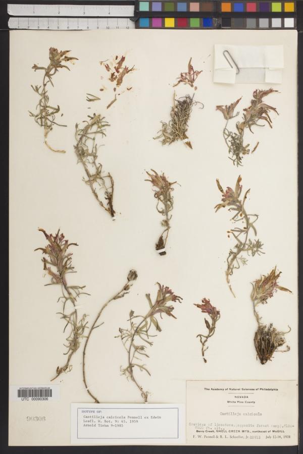 Castilleja calcicola image