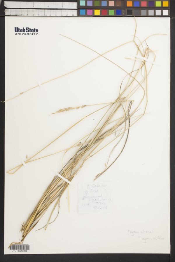 Leymus sibiricus image