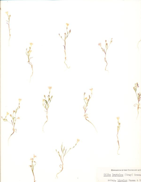 Navarretia leptalea subsp. bicolor image