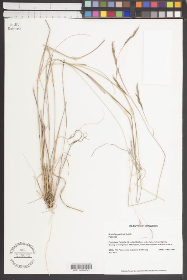 Aristida spadicea image