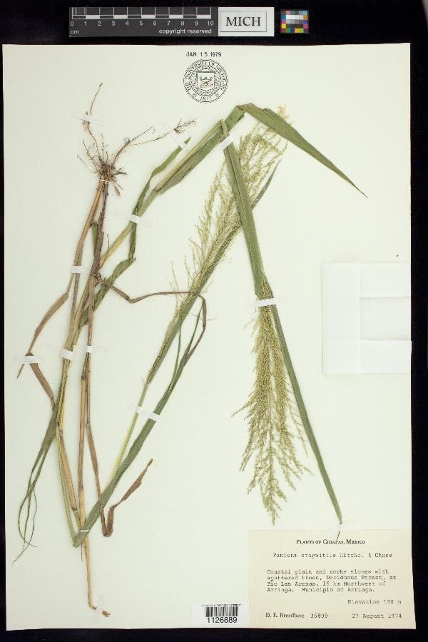 Dallwatsonia stagnatilis image