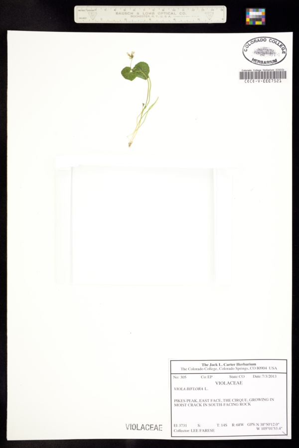 Viola biflora image