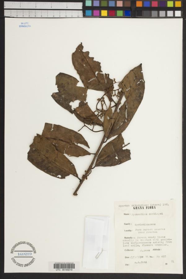 Pycnanthus dinklagei image