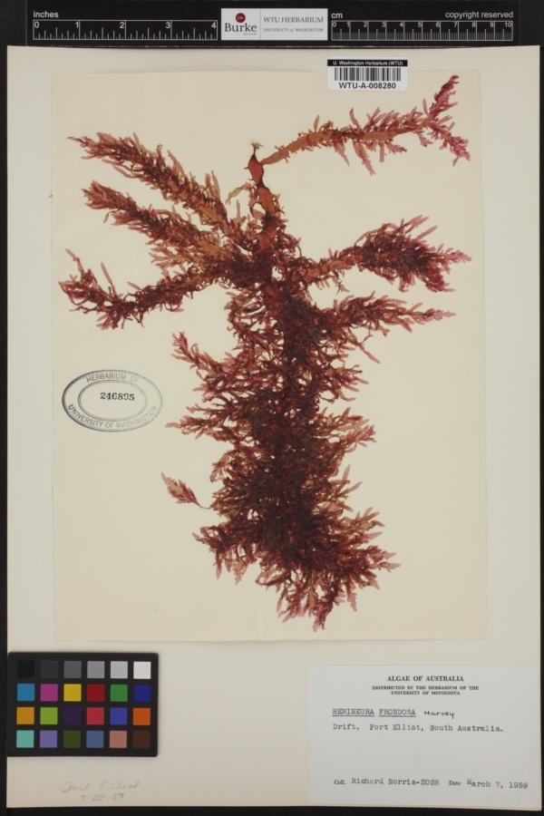 Hemineura frondosa image