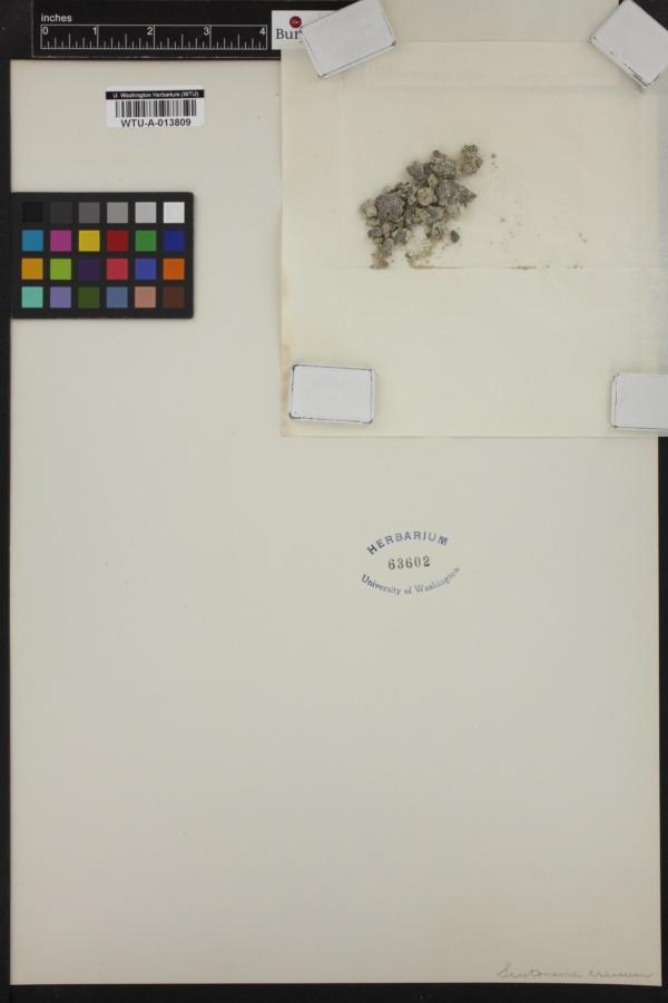 Scytonema crassum image