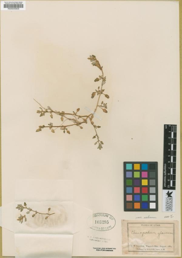 Chenopodium salinum image