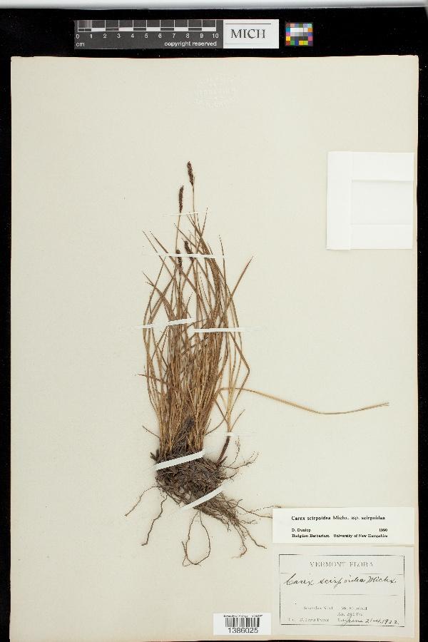 Carex scirpoidea subsp. scirpoidea image