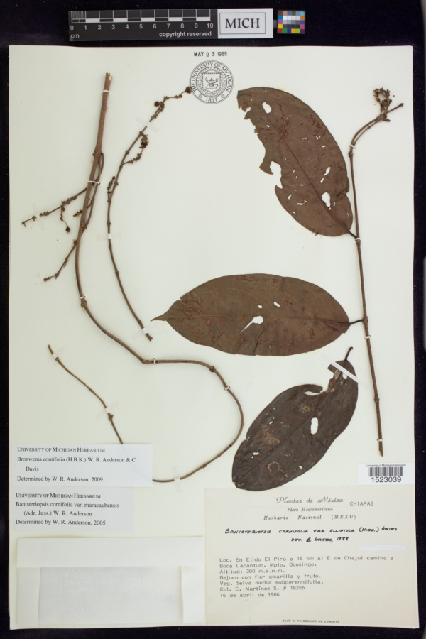 Bronwenia image