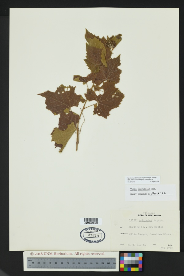 Vitis acerifolia image