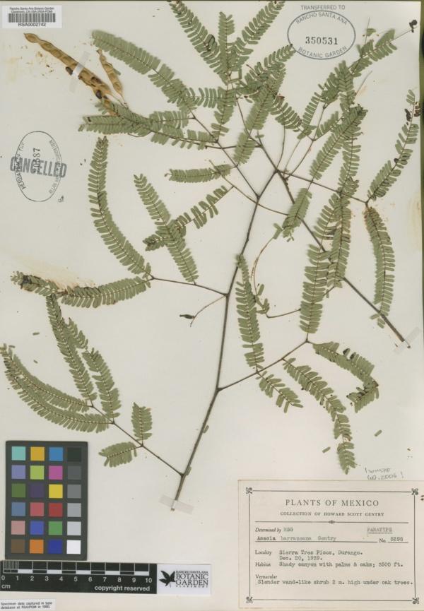 Acacia barrancana image
