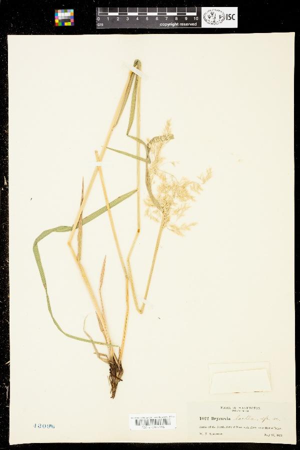 Calamagrostis lactea image