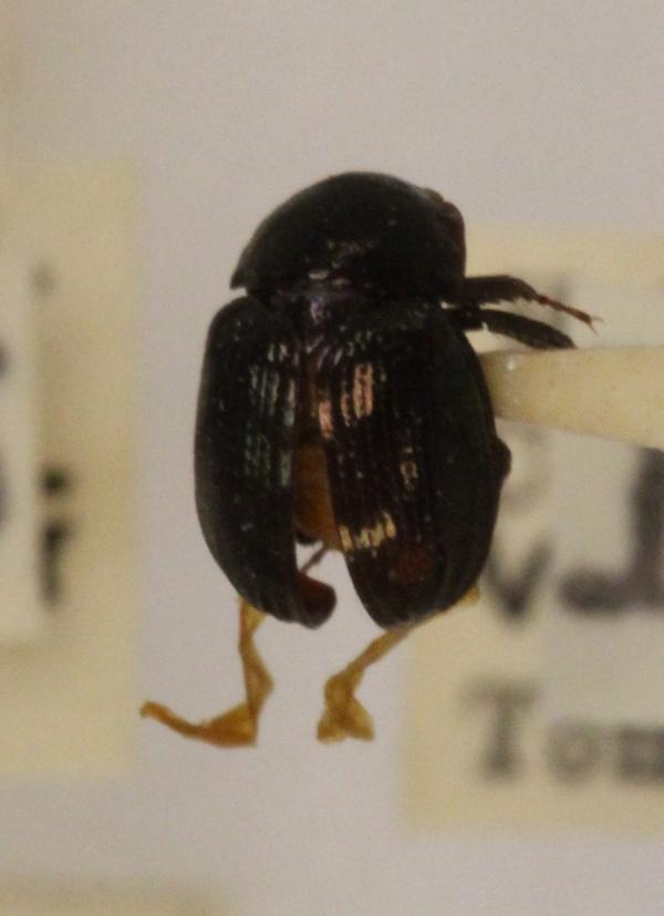Hybosoridae image