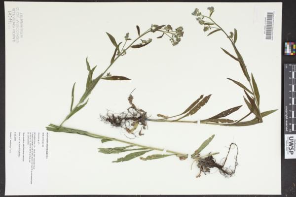 Myosotis macrophylla image