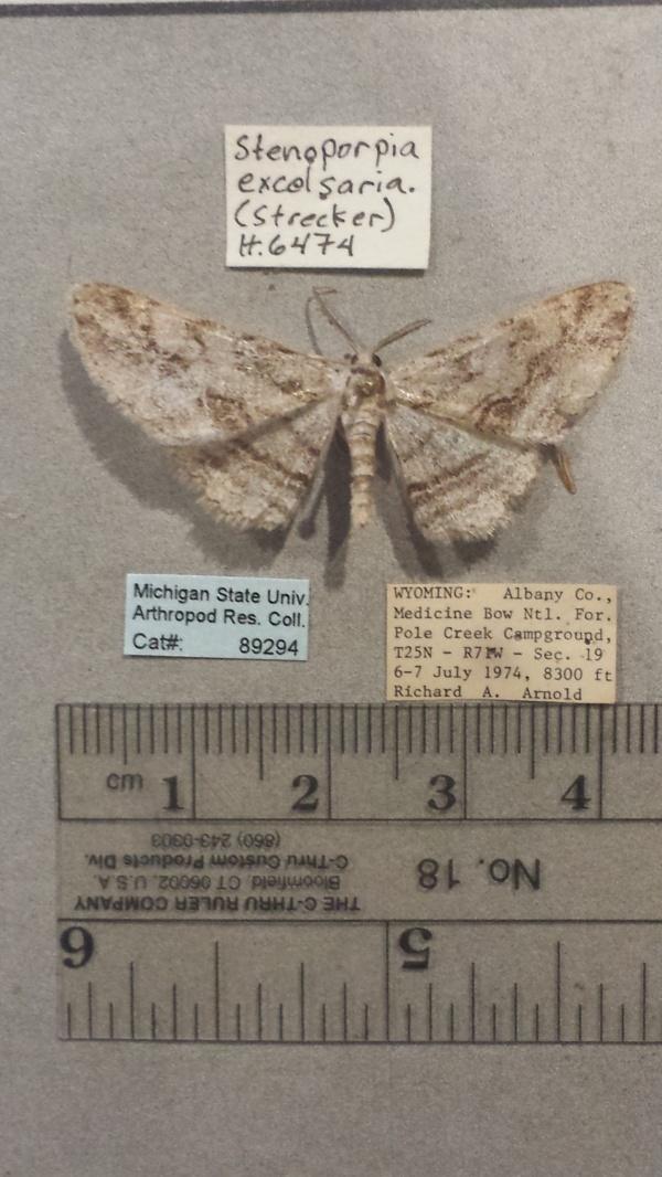 Stenoporpia excelsaria image