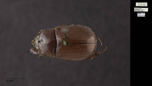 Oxygrylius ruginasus image