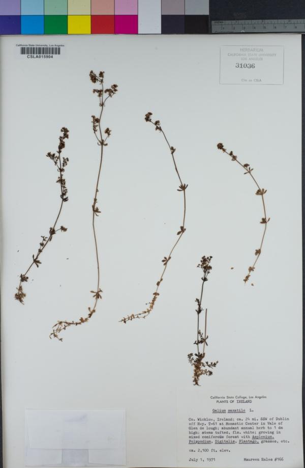 Galium saxatile image