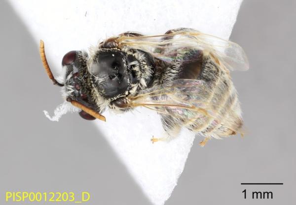 Andrenidae image