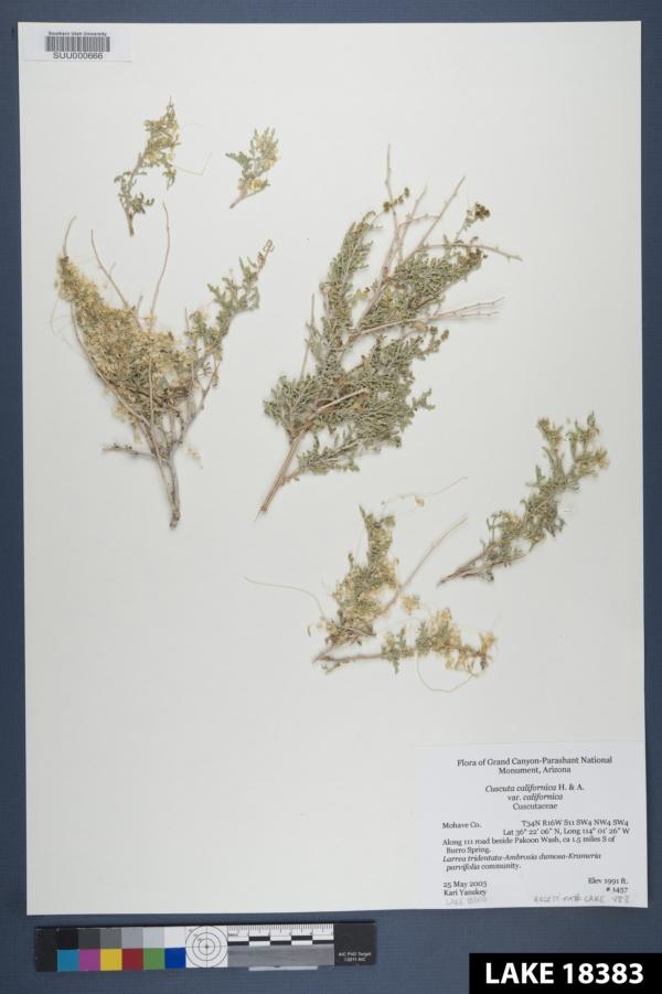 Cuscuta californica var. californica image