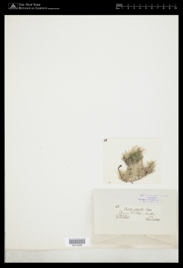 Jania gracilis image