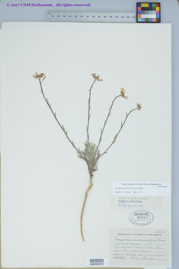 Boechera duchesnensis image