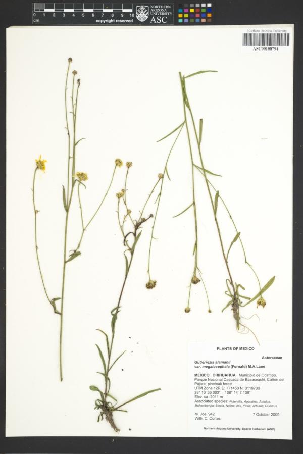 Gutierrezia alamanii var. megalocephala image