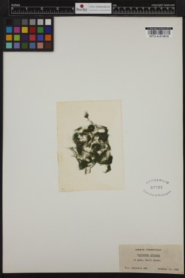 Scytonemataceae image