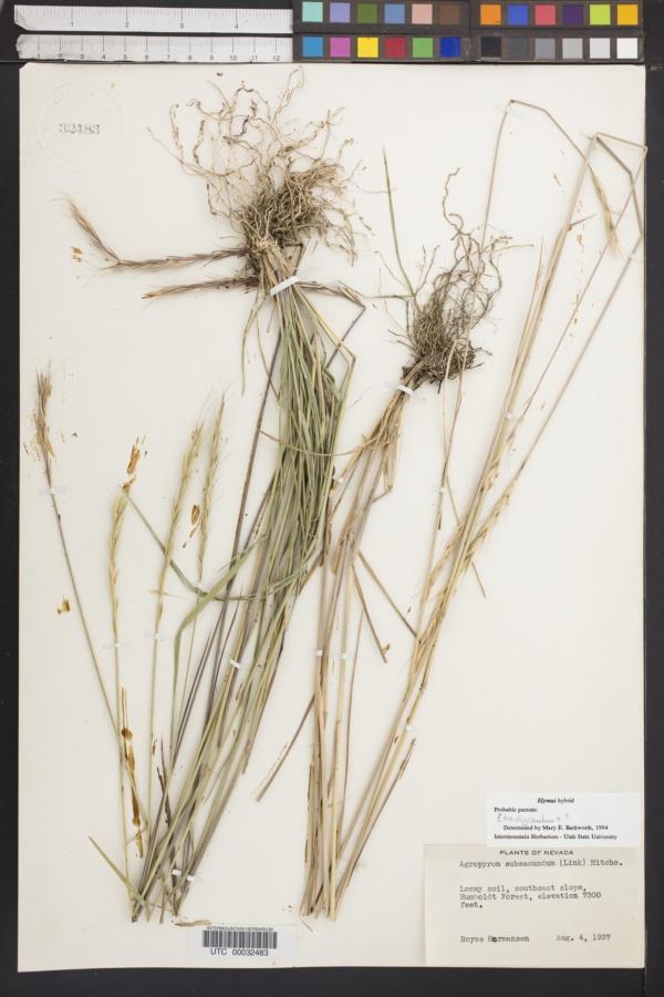 Elymus x saxicola image
